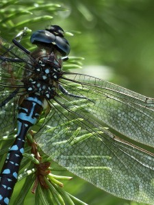 dragonfly-184162_1280